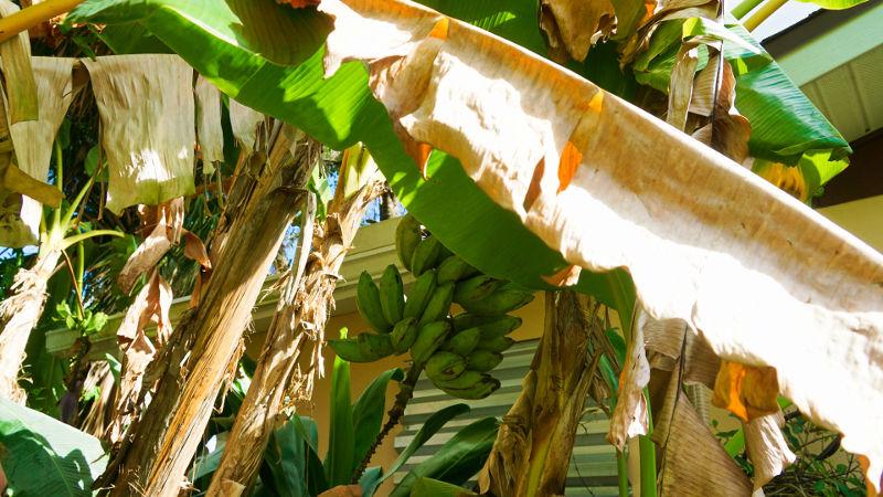 Banana Tree Fort Myers Florida